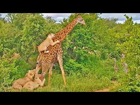 Löwen attackieren Giraffe