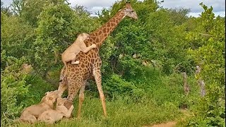 """Lions love to try to bring down a giraffe, because if they do, it is a massive meal that can last sometimes up to a week!  This hunt didn't go so well, it almost looked like the giraffe was just giving the lions a lift to the other side of the road! Africa's version of Uber…  Francois Pienaar, safari guide, captured his best sighting ever last week in the Klaserie Game Reserve.  He tells LatestSightings.com the story: """"On our early morning game drive, we found a pride of sleeping lions, as they usually do. My guests and I were watching them sleep, never expecting I was about to see the best sighting in my guiding career!  We only spent a couple of minutes with them before they started moving off after their morning nap. Whilst on our way following the lions, they spotted a very old giraffe bull unaware that a pride of lions had their eyes set on him.  We sat quietly in the vehicle as we watched the lions stalking this old bull.   After about 20 minutes of stalking, the chase was on! We raced in behind the lions, to see the action happening and hoping the lions would catch the big animal and bring it down.   As we tried to stay with these lions we saw some of the individuals grab at the legs and one female jumping on the back of the giraffe. With a big struggle and to our amazement the lions finally got the giraffe to a stop and still trying to bring it to the ground.  The old bull giraffe, fighting to stay standing, managed to throw the lions off his back and fought his way out by trying to stomp on the lions.  After about 5 hours the lions finally gave up and the old bull lived to see another day.""""   BOOK YOUR TRIP TO KRUGER: http://bit.ly/BookatKruger  Send in your wildlife video here, and earn money: https://www.latestsightings.com/partnership  To license the footage:  Contact@LatestSightings.com  Get some of our exclusive specials at the Kruger National Park (Free nights):  https://www.latestsightings.com/specials  Snapchat: LatestSightings Twitter & Instagram: """
