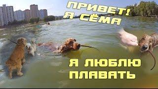 Спаниель Сёма плавает в озере | English cocker spaniel swimming