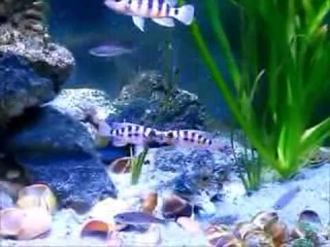 Neolamprologus sexfasciatus Fight Club