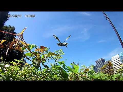 ナミアゲハの飛翔を5980円のアクションカムで撮影