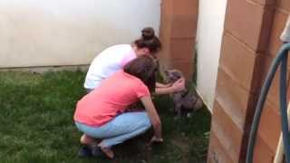 Surprising the Family With A Great Dane Puppy