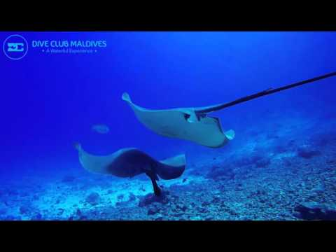 Southern stingray aux Maldives