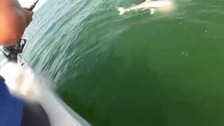 Смотреть онлайн Огромная рыба групер съела акулу