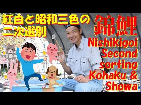 錦鯉 稚魚 紅白 昭和三色 二次選別 Nishikigoi second sorting.