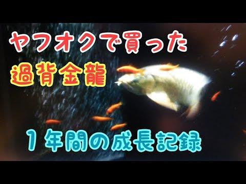 ヤフオクで購入した過背金龍 1歳 成長記録 誕生日 餌金捕食 アロワナ arowana