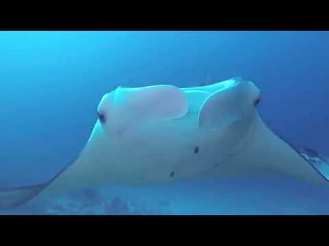 Reef manta ray in the Maldives
