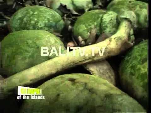 GLIMPSE of Bali PESONA BALI AGA DI DESA TRUNYAN