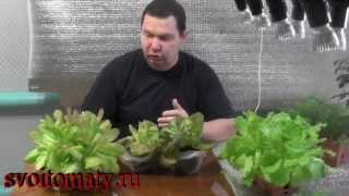 Смотреть онлайн Как вырастить салат с домашних условиях