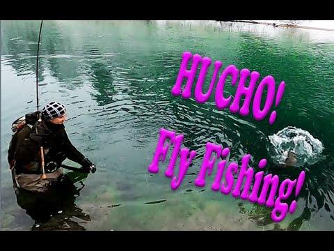 Euro Taimen Hucho-hucho landed by a fly rod