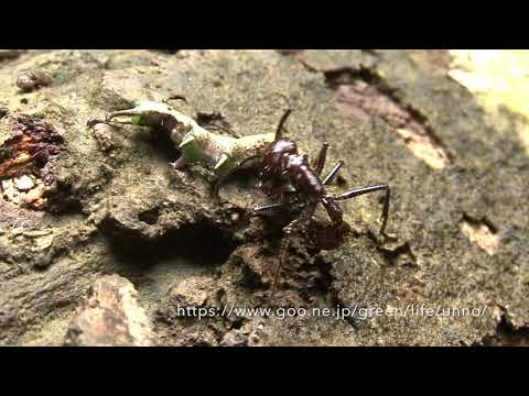 毒針を持つパラポネラアリの狩り