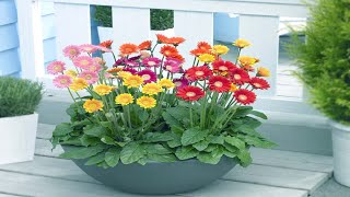 How To Grow And Care Potted Gerbera Daisies Indoors - Growing Houseplant