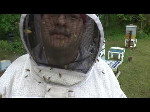 Beekeeper makes a difficult decision to euthanise a dangerous hive