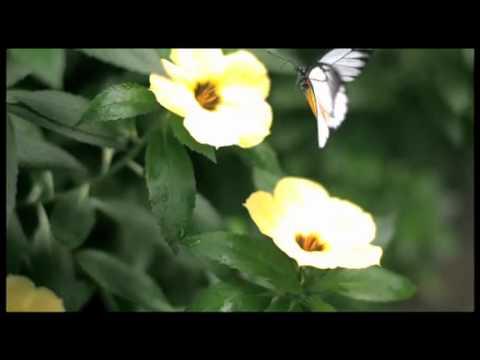 マダラシロチョウの飛翔