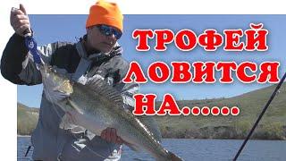 На что всегда клюет рыба берш