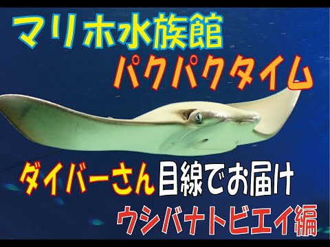 マリホ水族館 ダイバーが撮影 パクパクタイム~ウシバナトビエイ~