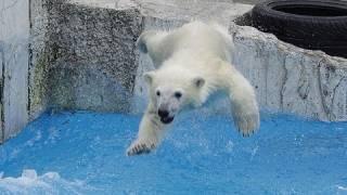 【北海道】助走をつけて飛び込むホッキョクグマ!!