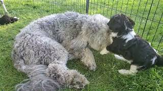 Bernedoodle Puppies Videos