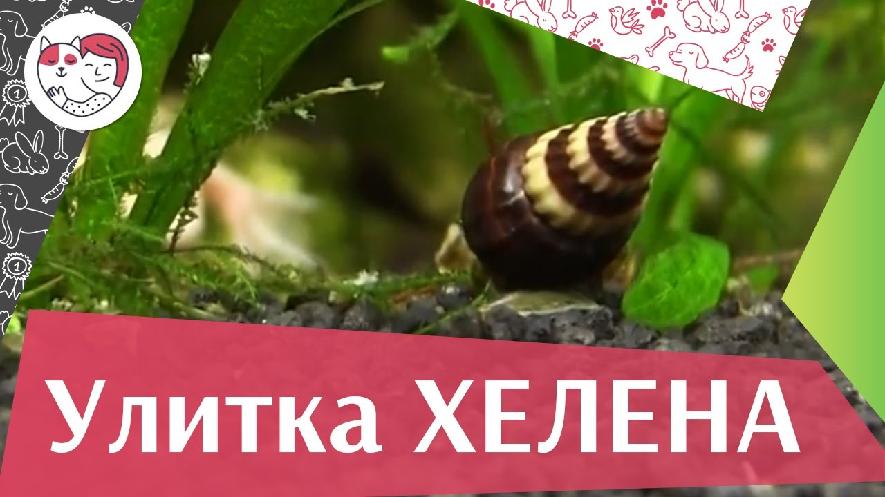 Улитка хелена Среда обитания на ilikepet
