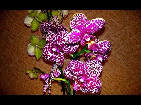 Новая орхидея и Дикий Кот