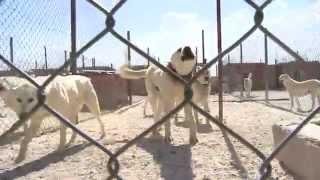 ESOGÜ Kültür Ve Bilim Saati - Akbaş Köpekleri