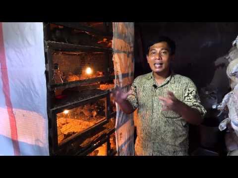 Video 13. Cara Pemeliharaan Puyuh