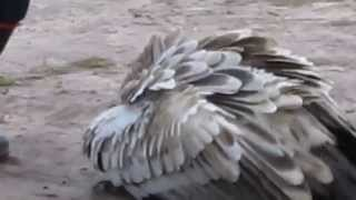 Vulture screeches for food in Knysna at the Radical Raptors centre