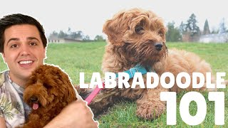 Labradoodle 101 - 10 Fast Breed Facts