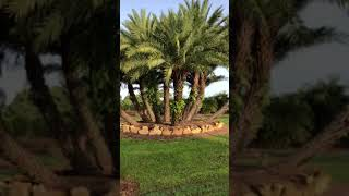 Magnificent Sylvester Palm Cluster Bed With Rock Border