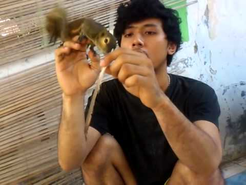 Video Squirrel, tupai, bajing kelapa. Chika,8 bulan.