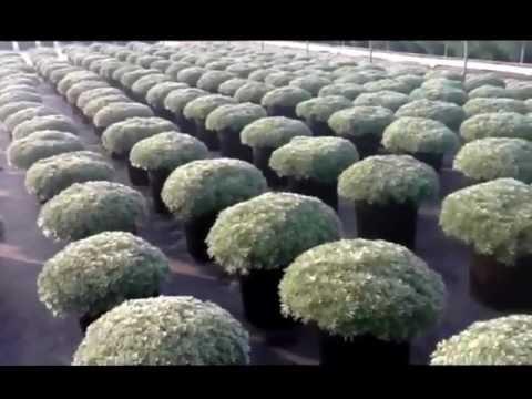 , title : 'Artemisia Silver Mound - Coming to a garden center near you