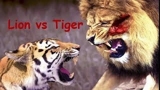 Real Fight Lion vs Tiger & Crocodile by Animal Fight To Death