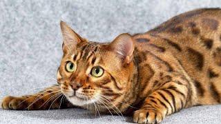Топ 10 мяуканий кошек которые нравятся вашим кошкам