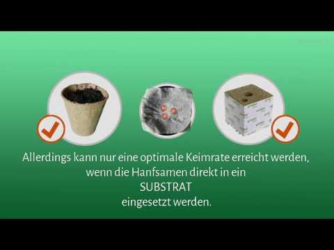 Hanfsamen richtig keimen lassen im Substrat: Erde oder Steinwolle