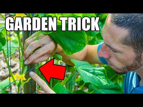 , title : 'This SIMPLE Garden TIP Will Get You MORE CUCUMBERS!