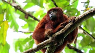 Interesting facts about red howler monkey by weird square