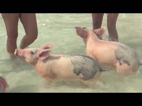 Los Cerdos También Viven En El Caribe