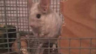 Training a Scared Chinchilla