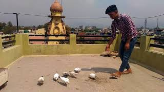 Humari Chaht K gola Kabootar ki Video - Pigeons Loft - hmong video