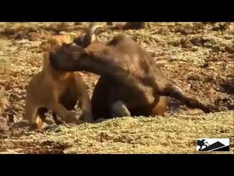 Удивительные моменты!!! Диких животных #3 --- Amazing moments!!! Wild animals #3