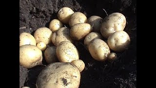Выращиваем картофель  глазками.