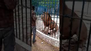 La video de l'homme qui s'est fait mordre la main par un lion au parc de Hann