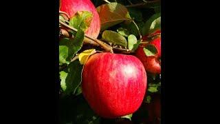 Саженцы яблони Арнабель (honey crispis) от компании Крестьянское фермерское хозяйство Сеянец - видео 2