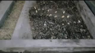 Cara Panen Pree Pupa BSF Otomatis