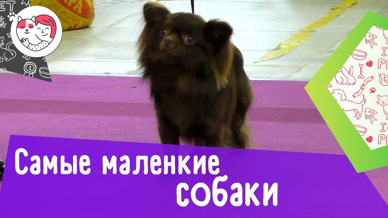 7 самых маленьких пород собак в мире
