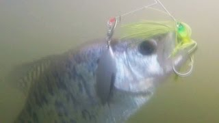 crappie on spinnerbait