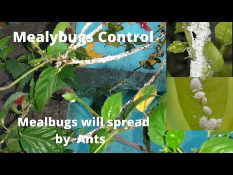 Figyelje a parazita hatalmas növekedés boncolását