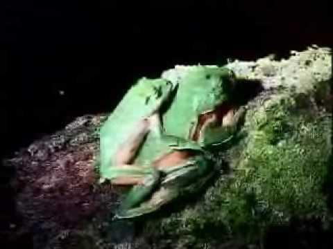 化腐朽為神奇橙腹樹蛙生活史三