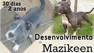 Crescimento Da American Staffordshire Terrier 30 Dias Até 2 Anos Mazikeen
