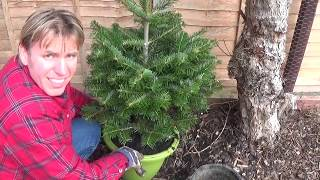 A Young Fir Tree In Need Of A Larger Pot